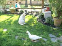 """Comet being """"proofed"""" around Mama the duck."""