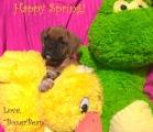 """BoxerBean"", our new Boxer puppy."